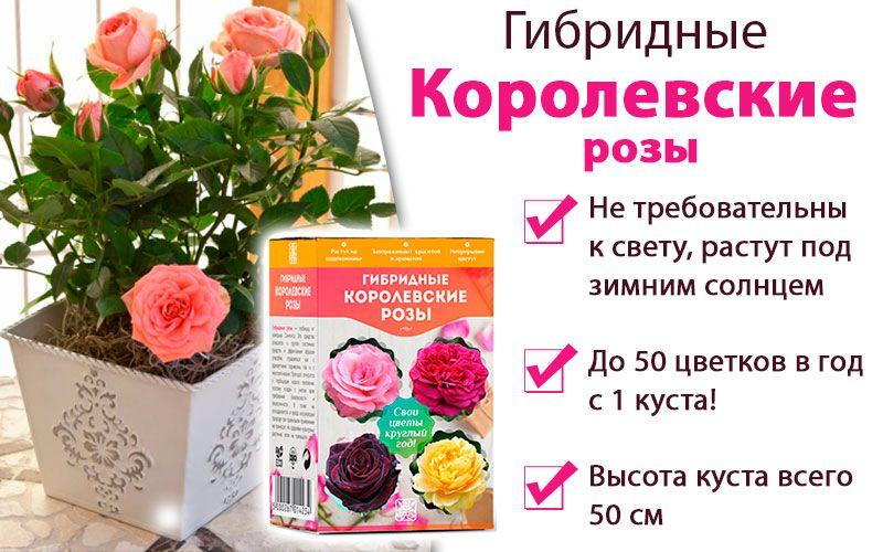 Гибридные королевские розы свойства
